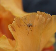 Spider on Iris. by tcat757