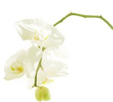 white orchid by AgaSilva