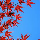 Japanese Maple by Jeannette Sheehy