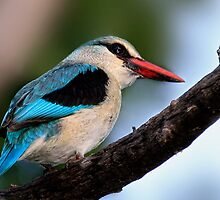 Woodland Kingfisher  by JandeBeer