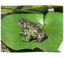 Frog Sitting on a Water Lily Poster