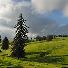 Three firs, Romania, Transylvania region  by Antanas
