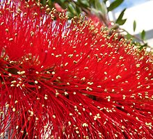 Flamboyant red, Callistemon (bottlebrush) by presbi