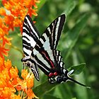 Zebra Swallowtail by Susan Blevins
