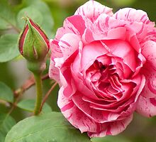 Variegated Rose by Debbie Moore