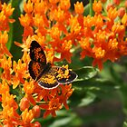 Pearl Crescent by Susan Blevins