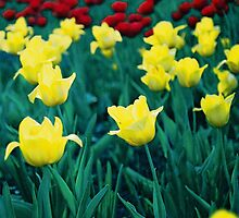 yellow tulips by Igor Philipenko