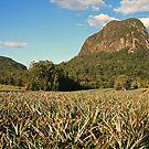 Pineapple Plantation by hans p olsen