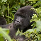The Mountain Gorillas of Rwanda by Derek  Rogers