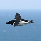 Razorbill, off the edge of Bempton Cliffs.  aPicture 023 by Paul Holland