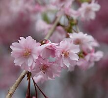 Cherry Blossoms at Saga by nekineko
