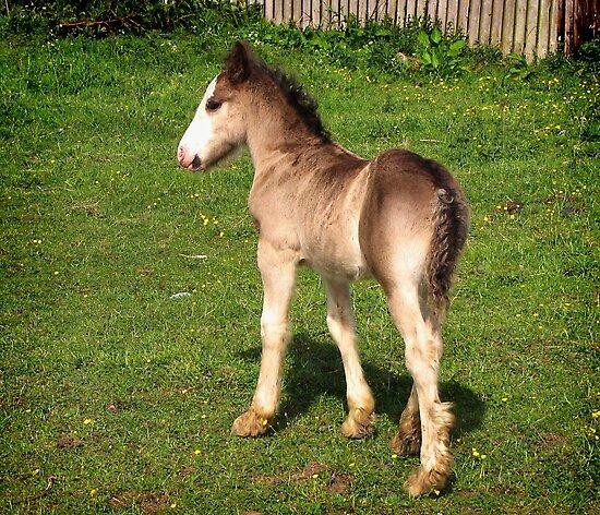 Foal by Carol Bleasdale