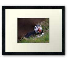Puffin at Sumburgh head another look Framed Print
