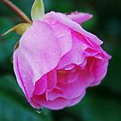 A Pink Rose  by Jennifer Hulbert-Hortman