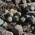 Killdeer Eggs by eaglewatcher4