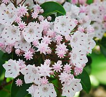 Mountain Laurel by Laurel Haarer