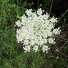 Queen Anne's Lace by ArtistJD