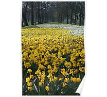 Daffodils at Lancaster Gate Hyde Park Poster