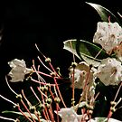 Mountain Laurel by Phillip M. Burrow