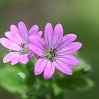 Doves Foot Geranium by SKNickel