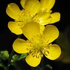 Buttercups! by Rusty Katchmer