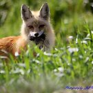 Red Fox  by jeff welton