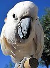 Daisy ~ Moluccan/Salmon-crested Cockatoo by Kimberly Chadwick