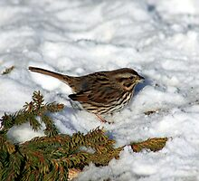 A Sparrow In Winter by HALIFAXPHOTO
