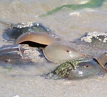 The Horseshoe Crab Spawn by Dandelion Dilluvio