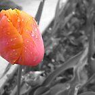 Sunrise Tulip by kathrynjoyphoto