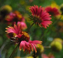 Indian Blankets by courier