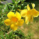 Golden trumpet yellow flower by Alan Gillam