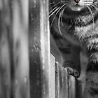 Cat on the Fence by simpsonvisuals