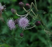 Evolution of the Thistle  by Jeff Stroud