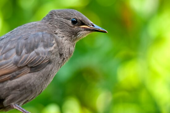 Juvenille Starling by Stephen Knowles