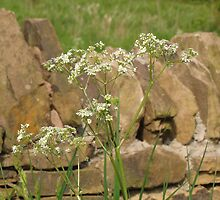 Cow Parsley and Stone Wall by Carol Bleasdale