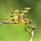 Halloween Pennant cleaning her eye. by William Brennan