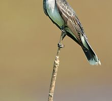 Eastern Kingbird Perched by Michael Mill