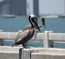 Pelican by Todd Aitken