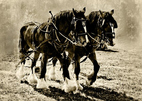 Shire Horses by Catherine Hamilton-Veal  ©