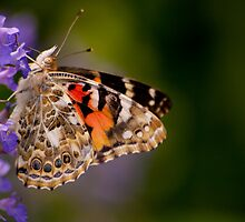 Red Admiral Butterfly in the Heather by Dave Bledsoe