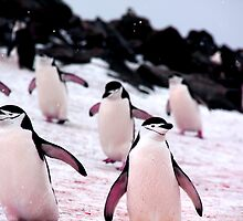 Chinstrap Penguins by bvl1981