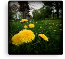 dandelions at stanmer park brighton sussex Canvas Print