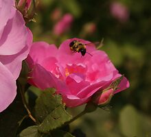 Wild Rose & the Bumble Bee by Robbin269135