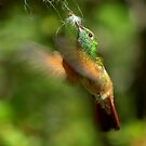 Berylline Hummingbird Gathering Nesting Material by Diana Graves Photography
