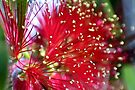 Beautiful Bottlebrush Bloom by missmoneypenny