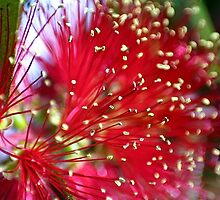 Beautiful Bottlebrush Bloom by missmoneypenny
