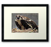 Mama Osprey protecting her nest Framed Print