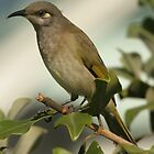 brown honeyeater by paulinea