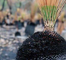Xanthorrhoea Bushfire by stjc